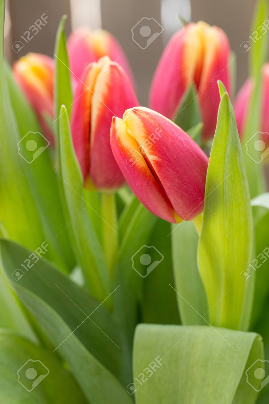 Spring tulip flowers that are pretty stock photo picture and spring tulip flowers that are pretty stock photo 37570245 mightylinksfo