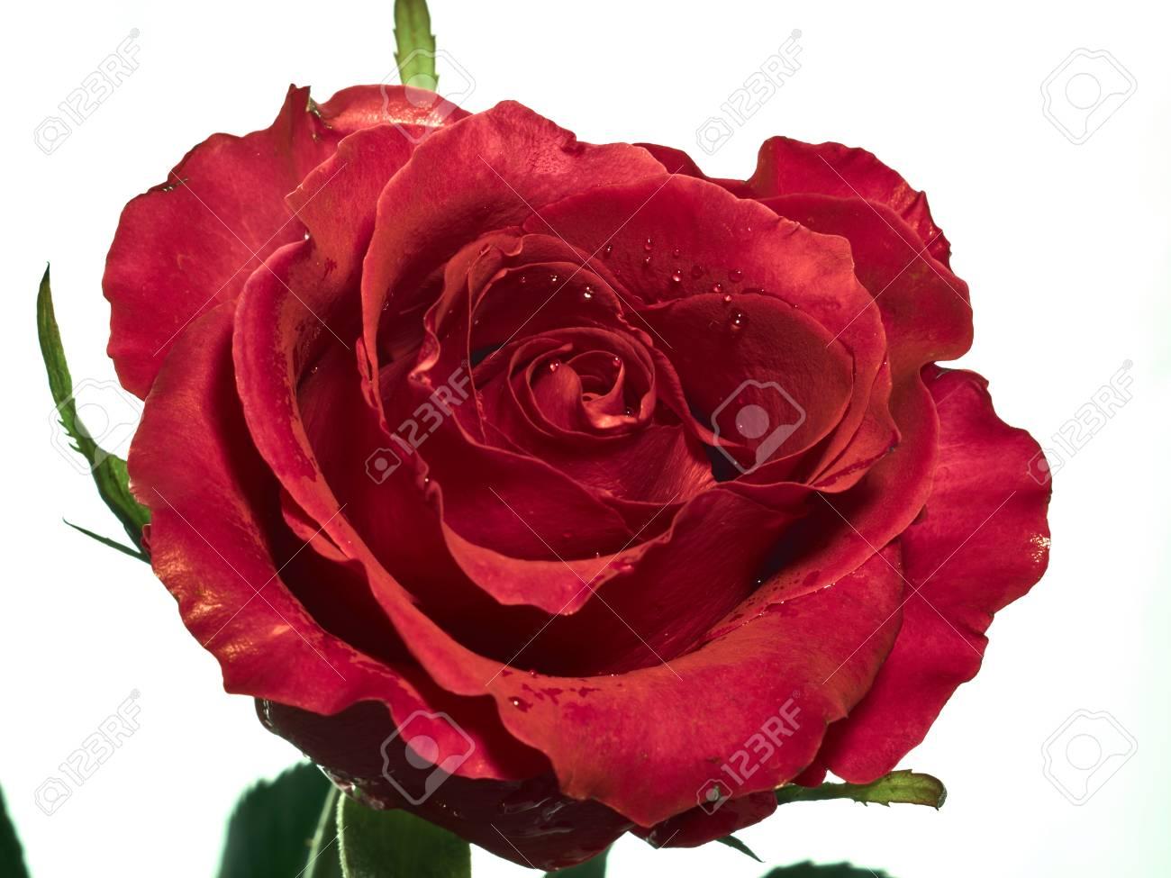 Immagini Stock Butyfull Rosa Rossa Isolato Su Sfondo Bianco Image