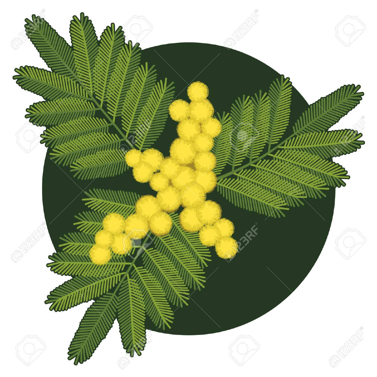 Twig Of Mimosa Flower With Leaves Stock Vector   36086398