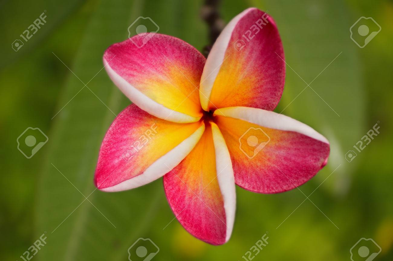 Five Petal Pink Flower Frangipani Plumeria With Yellow Center