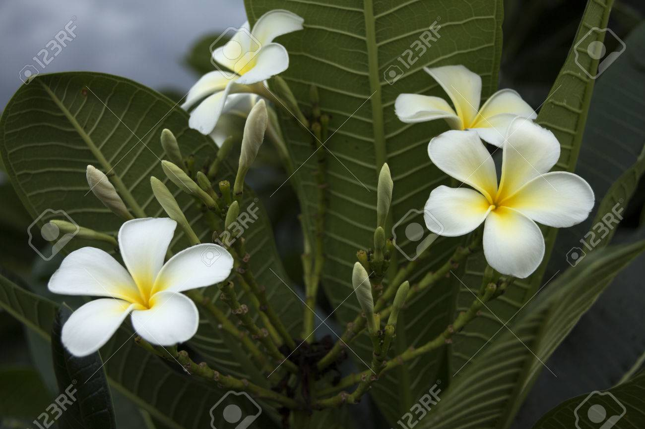 Bunch of five petal white flowers frangipani plumeria with stock bunch of five petal white flowers frangipani plumeria with yellow center on the green mightylinksfo