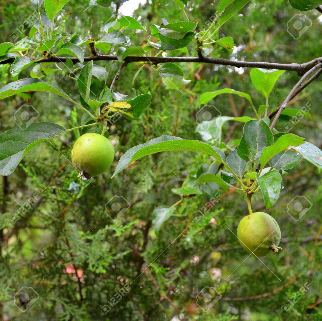 Apple Tree Early Fruit