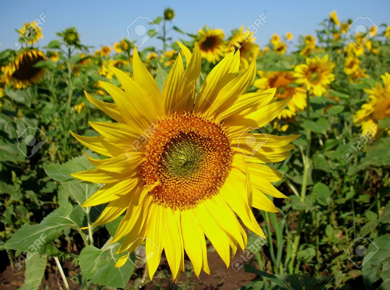 sunflower Stock Photo - 6401601