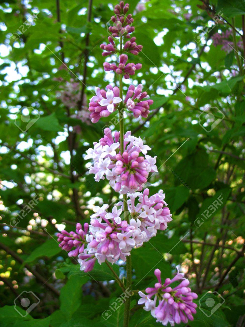 Albero Di Lillà fioritura primaverile albero di lillà