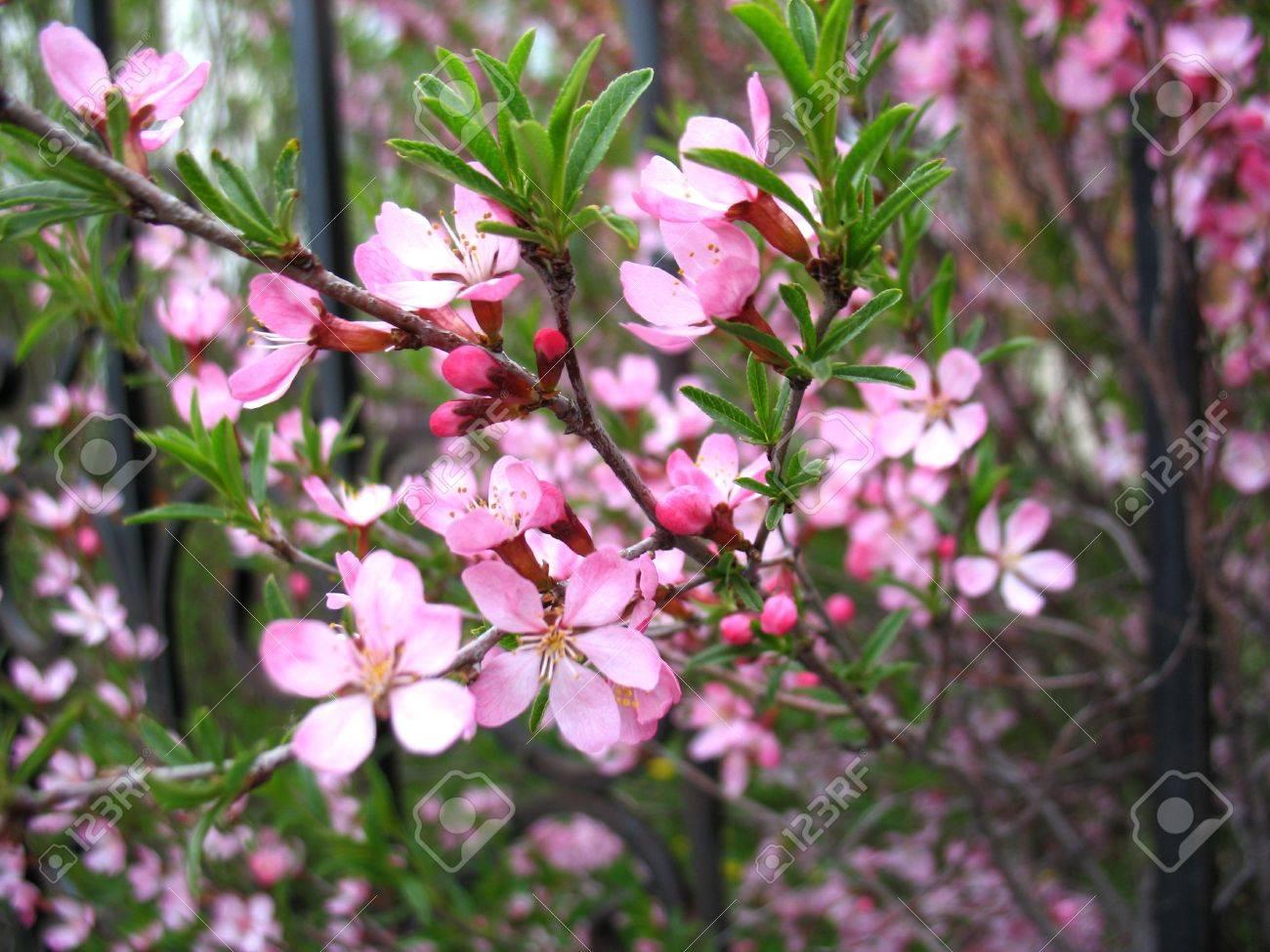 il ya des fleurs roses de romarin sauvage banque d'images et