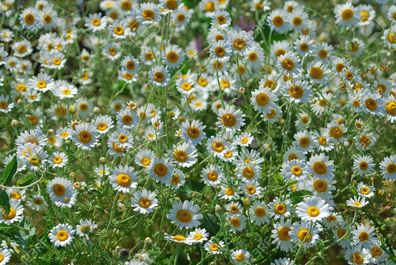 daisy background with folral blossom Stock Photo - 4946046