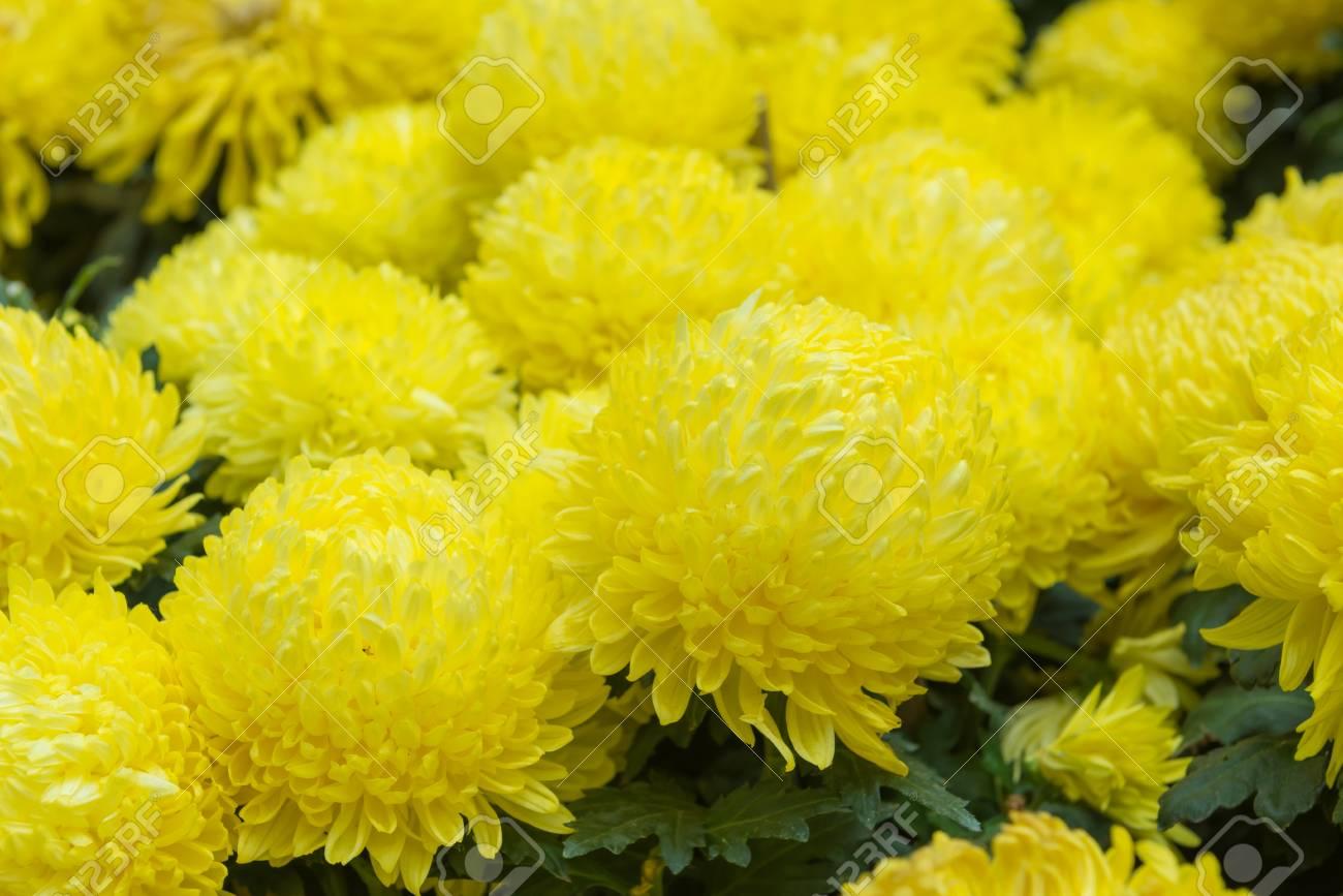 74552d738 marigold flower or calendula flower in beautiful garden. Stock Photo -  80575849