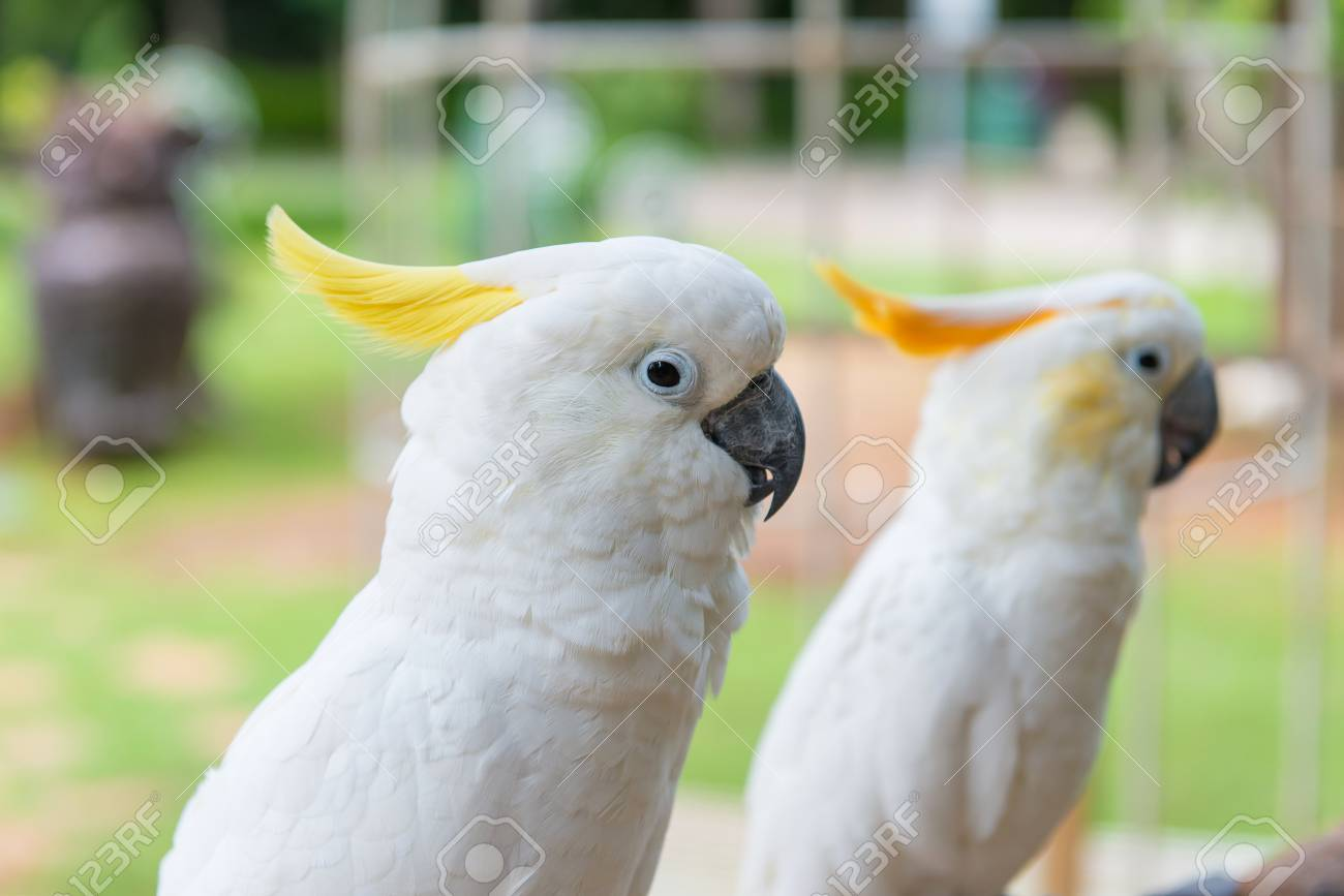 yellow crested cockatoo or white parrot standing on tree in park