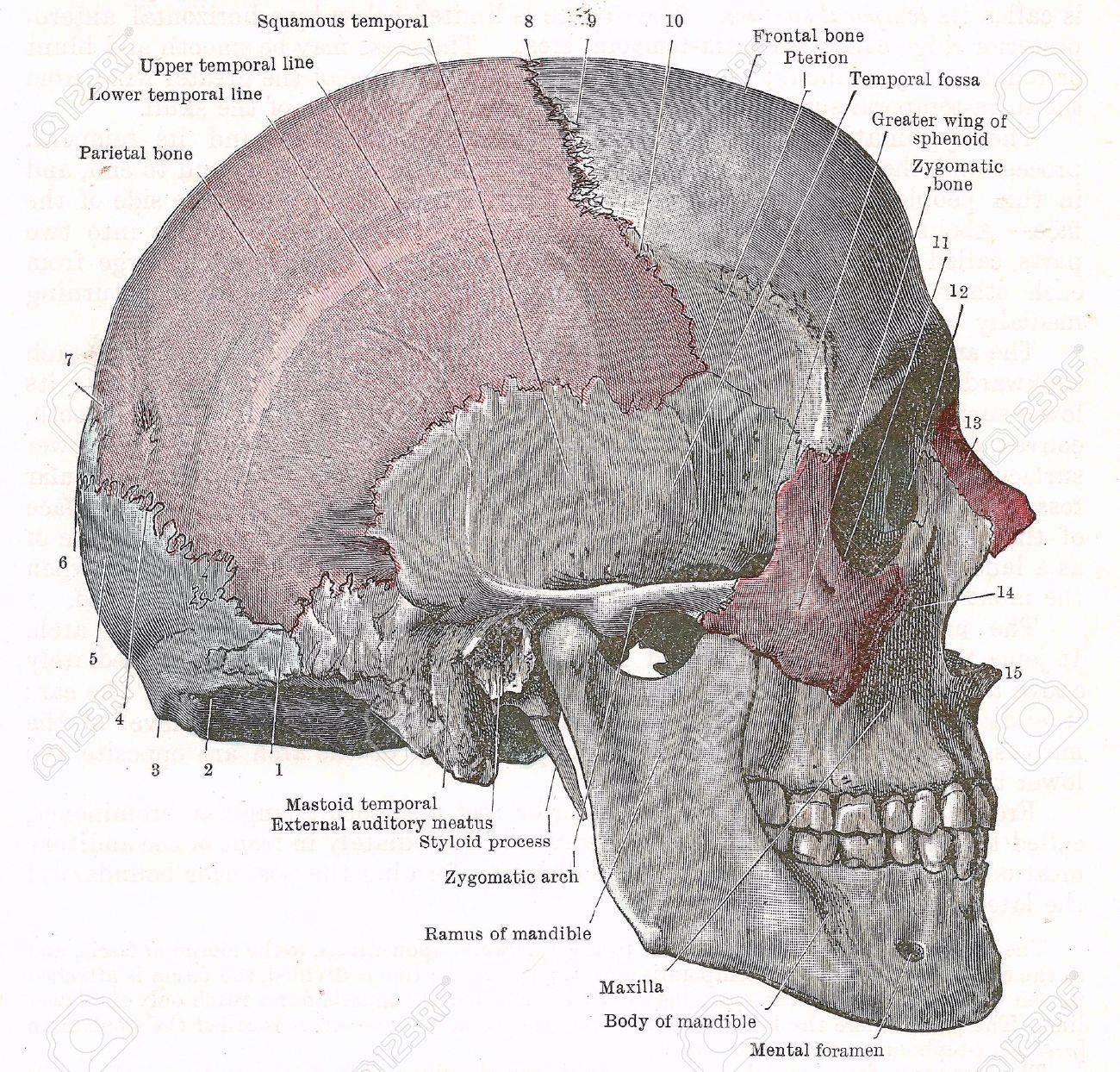 Dissection Of The Human Head Side Of Skull From An Early Stock