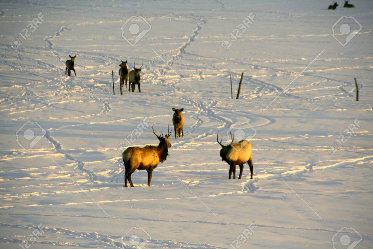 Elk in snow, crossing ranch pasture at sunset		Kremmling,	Colorado Stock Photo - 3291161