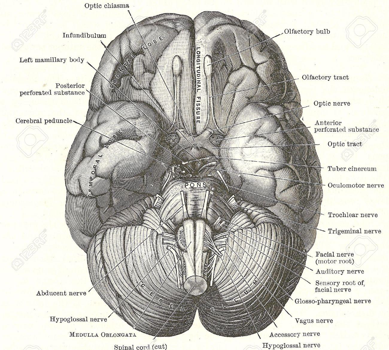 Dissektion Des Menschlichen Gehirns - Basis Des Gehirns Und Der ...