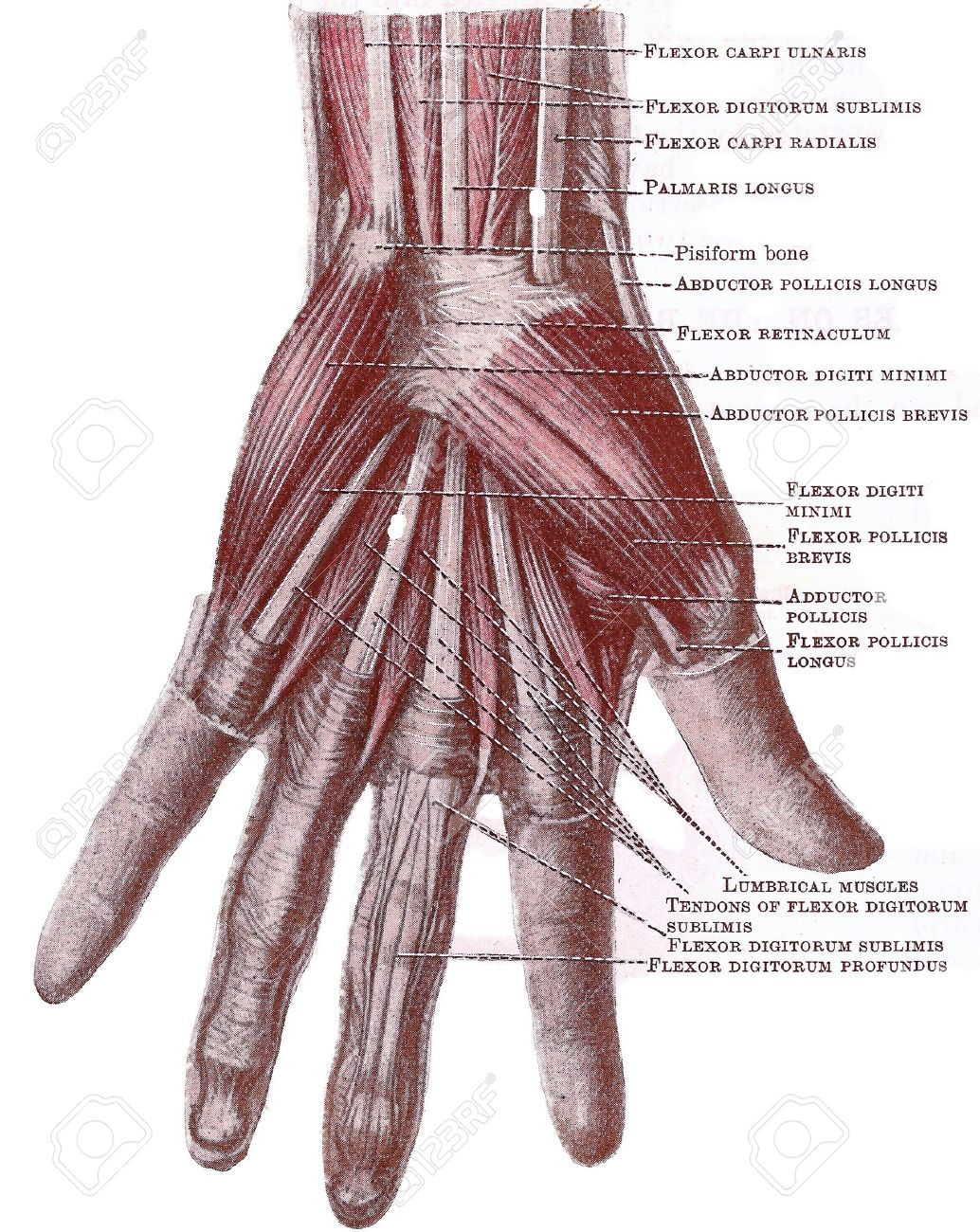 Disección de la mano - músculos superficiales y tnedons en la Palma, de un libro de texto de anatomía de principios del siglo XX, sin derechos de autor  Foto de archivo - 5327562