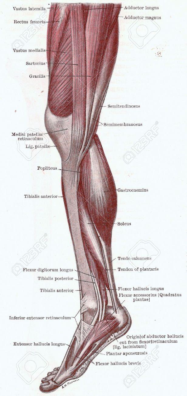 Dissektion Der Bein, Muskeln Der Knie, Bein Und Fuß Von Medialen ...