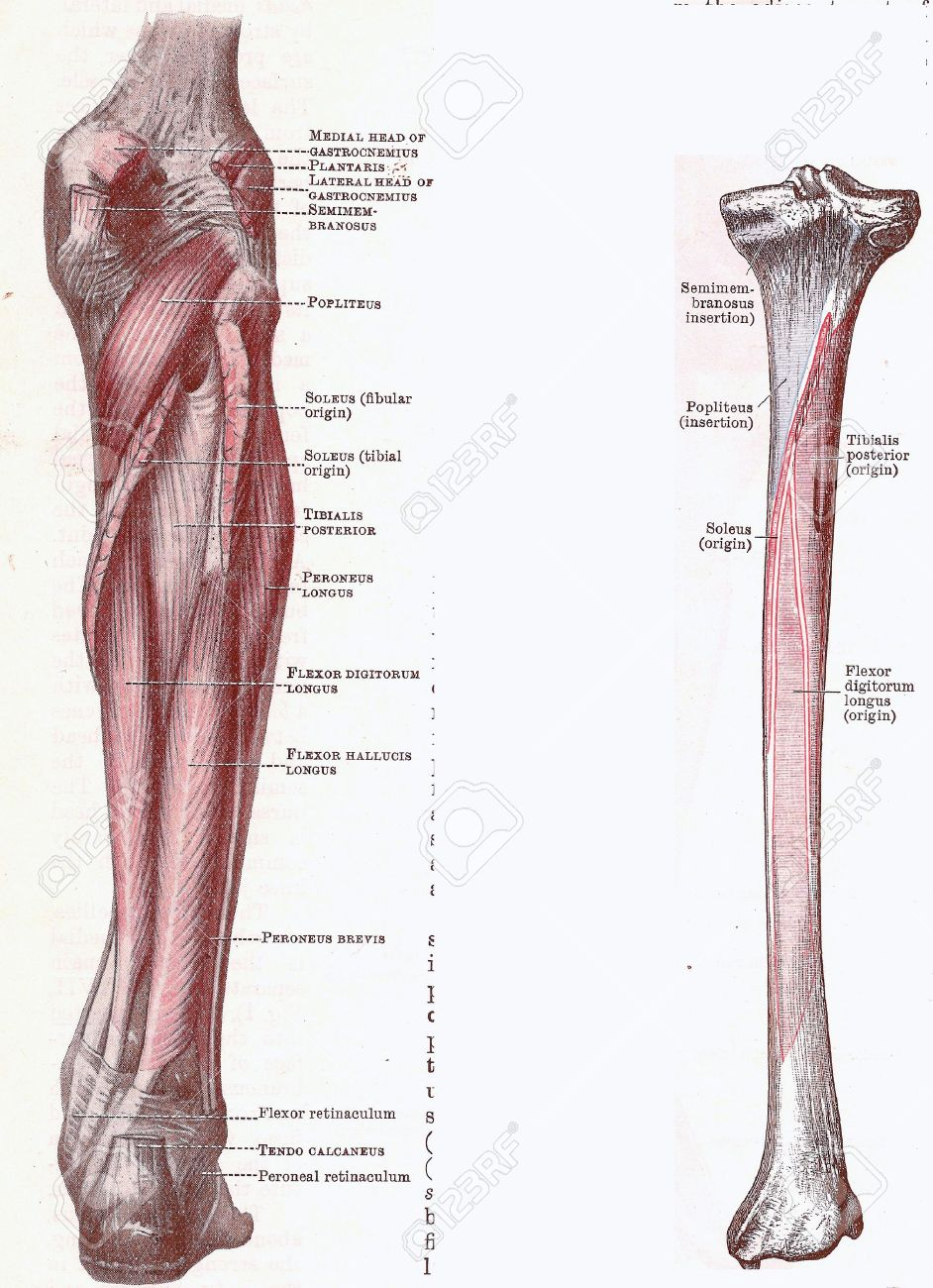 Dissection of the leg, muscles and attachments,from an early 20th century anatomy textbook, out of copyright - 5327560