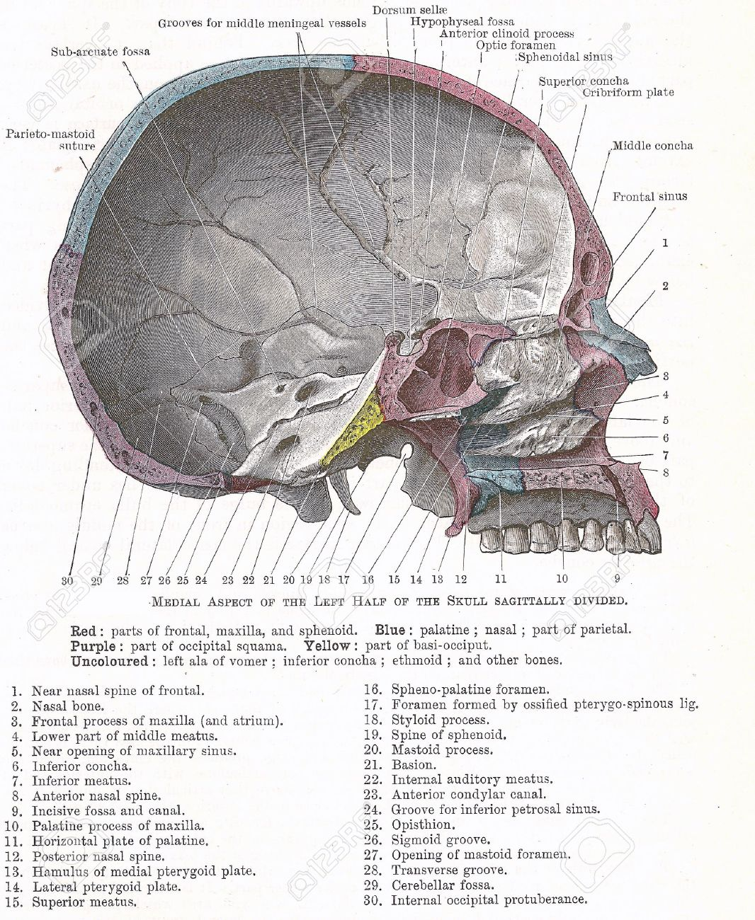 Dissection Of The Human Head Medial Aspect Of Left Side Of Stock