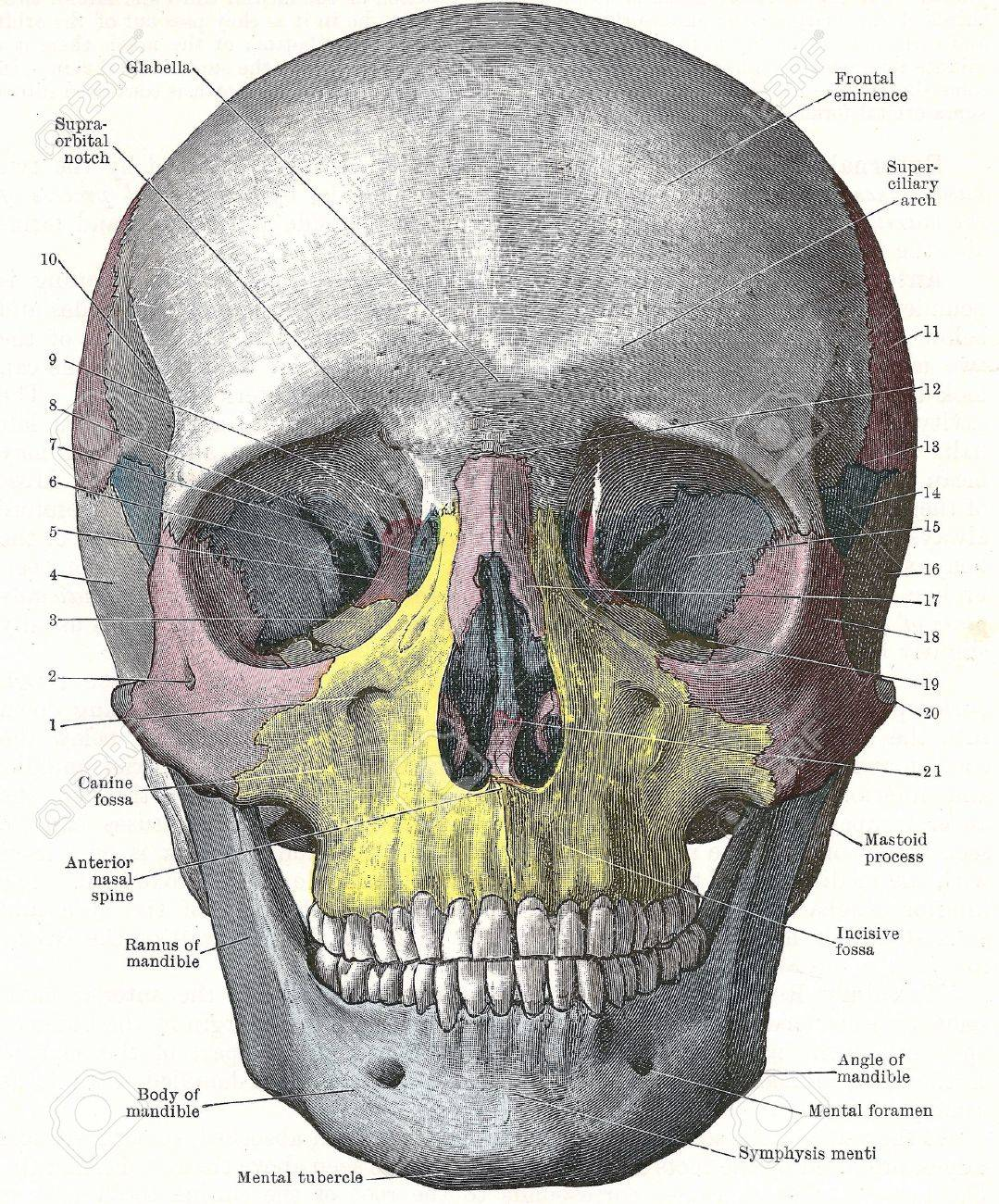 Dissection of the human head - front of skull;from an early 20th century anatomy textbook, out of copyright - 5327567