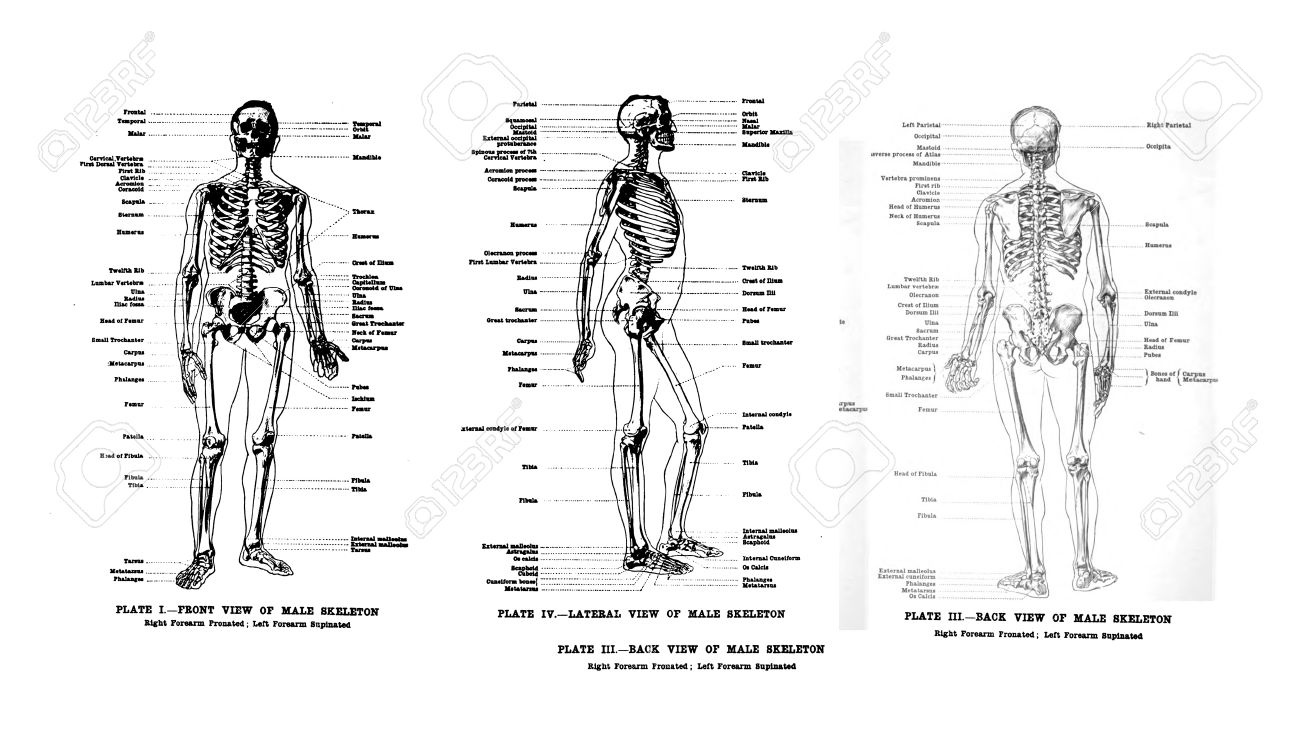 3 Views Of The Human Skeleton, Full Frontal , Lateral And Rear ...