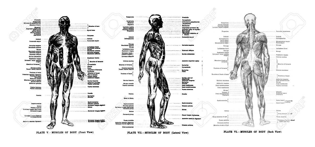3 Vistas De Los Músculos Humanos, Llenos Frontal, Lateral Y Trasera ...