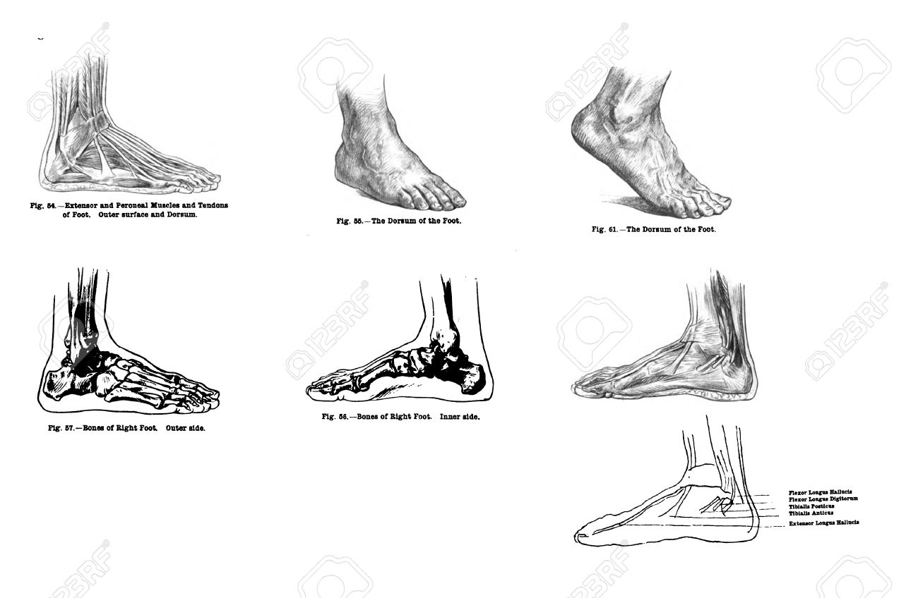7 Ansichten Des Menschlichen Fußes, Muskeln Und Knochen Aus ...