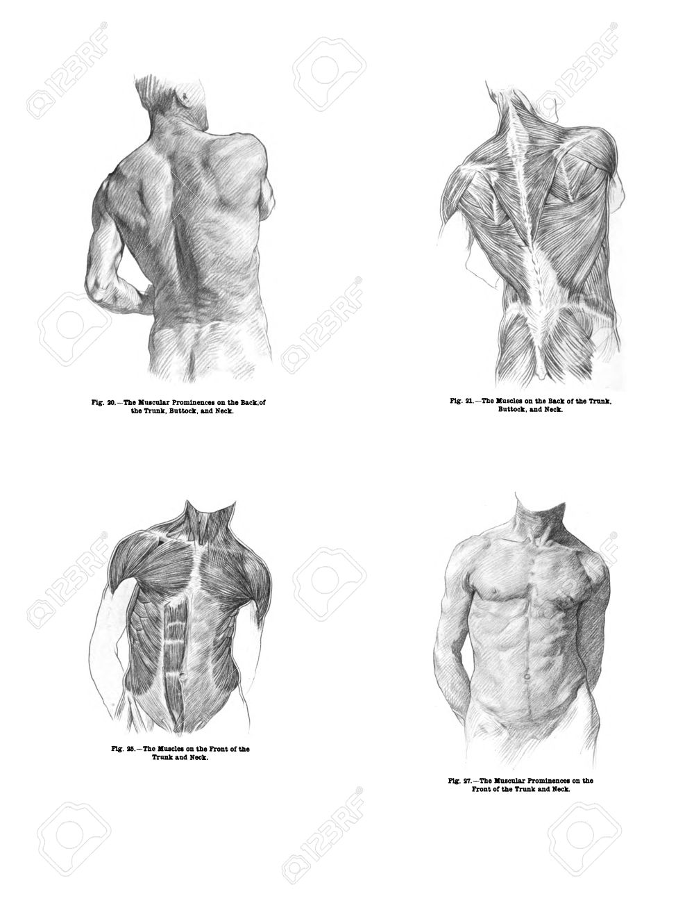 4 Views of the human back muscles, and torso from out of print book, Human anatomy for art students by Sir Alfred Downing Fripp, Ralph Thompson, Harry Dixon - 1911 - 11309096