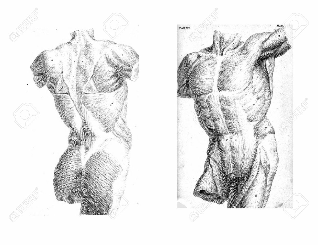 2 Views Of The Human Torso, Muscles And Internal Organs From.. Stock ...