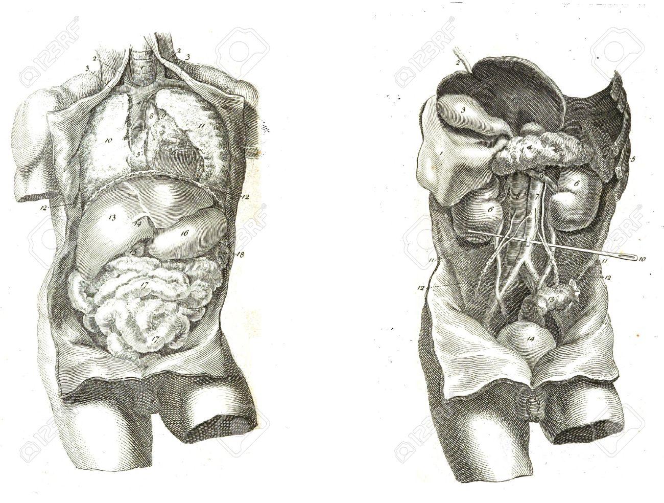 2 Ansichten Des Menschlichen Torso, Muskeln Und Inneren Organe Von ...