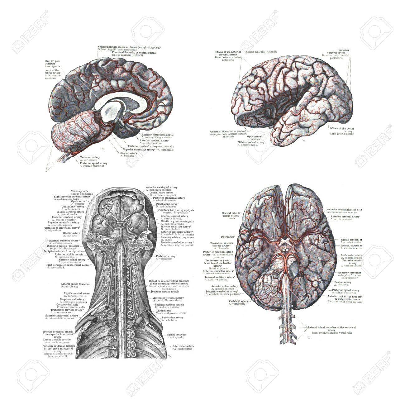 4 Vistas Del Cerebro Humano De Un Atlas De Anatomía Humana: Carl ...