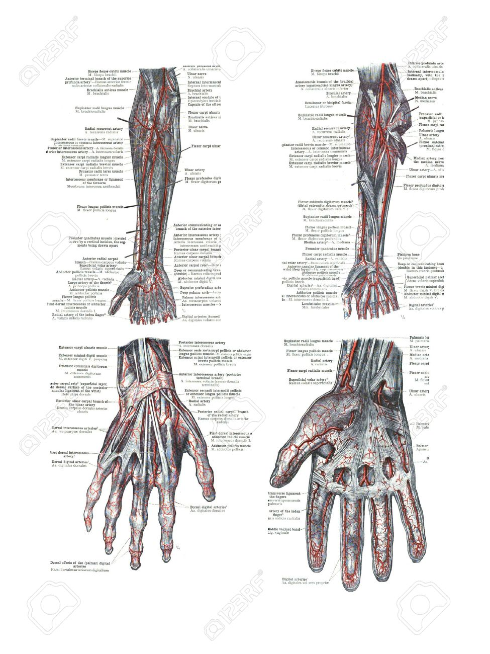 4 Views Of The Human Hand And Arm From An Atlas Of Human Anatomy ...