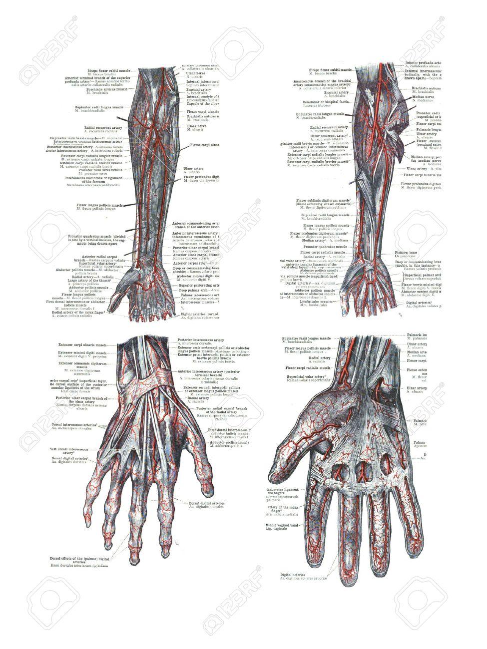 4 Vistas De La Mano Del Hombre Y El Brazo De Un Atlas De Anatomía ...