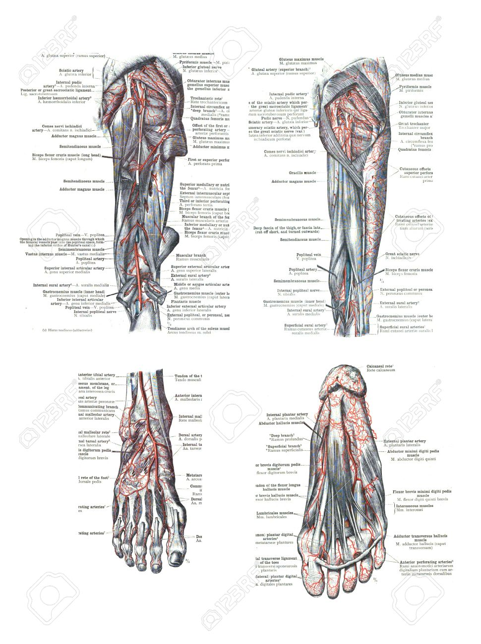 4 Views Of The Human Foot And Leg From An Atlas Of Human Anatomy
