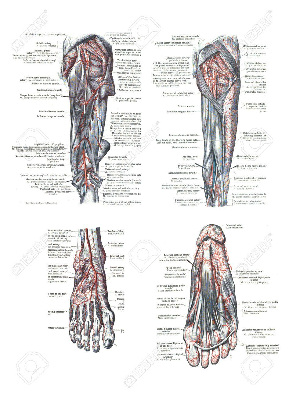 4 Vistas Del Pie Humano Y La Pierna De Un Atlas De Anatomía Humana ...