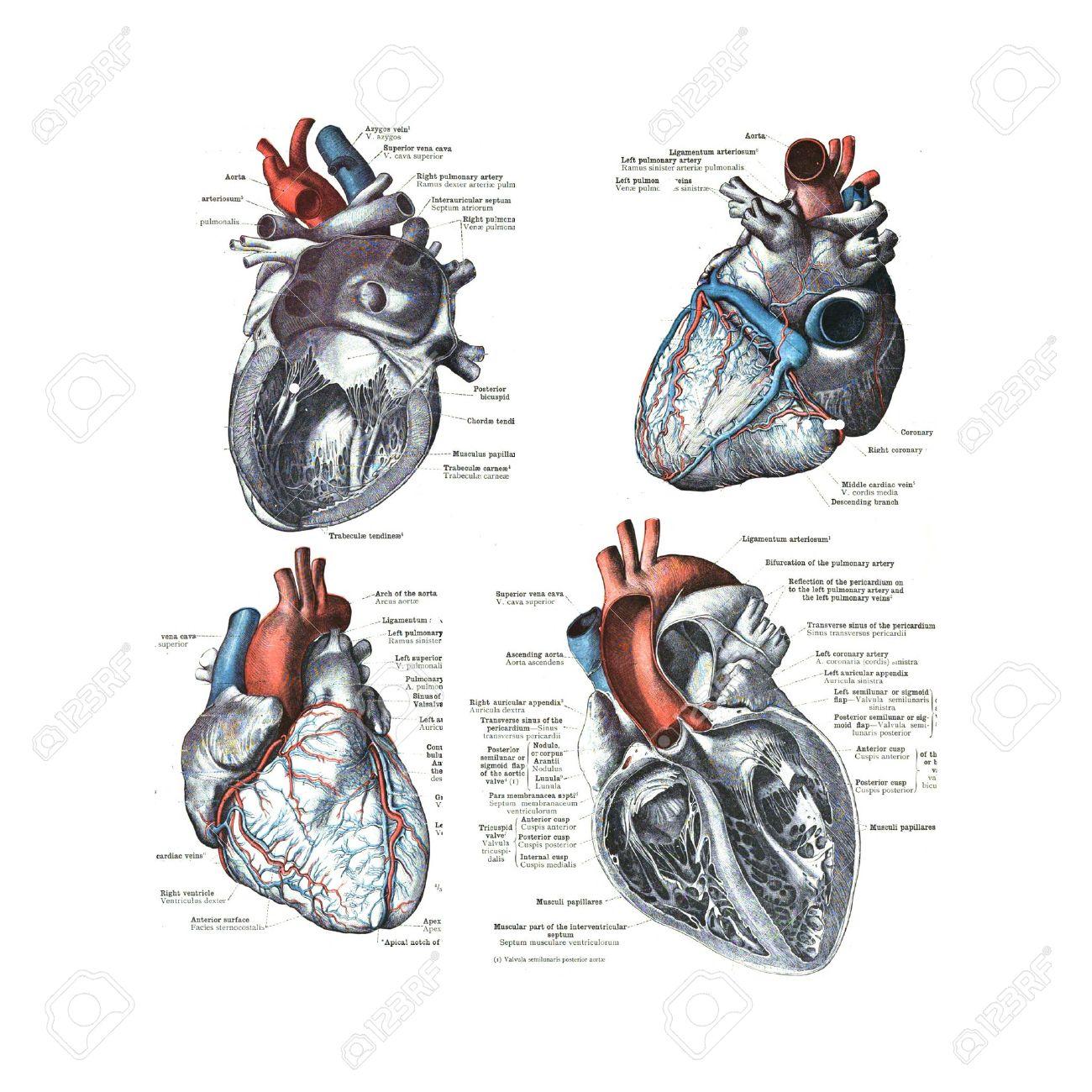 4 Vistas Del Corazón Humano De Un Atlas De Anatomía Humana: Carl ...