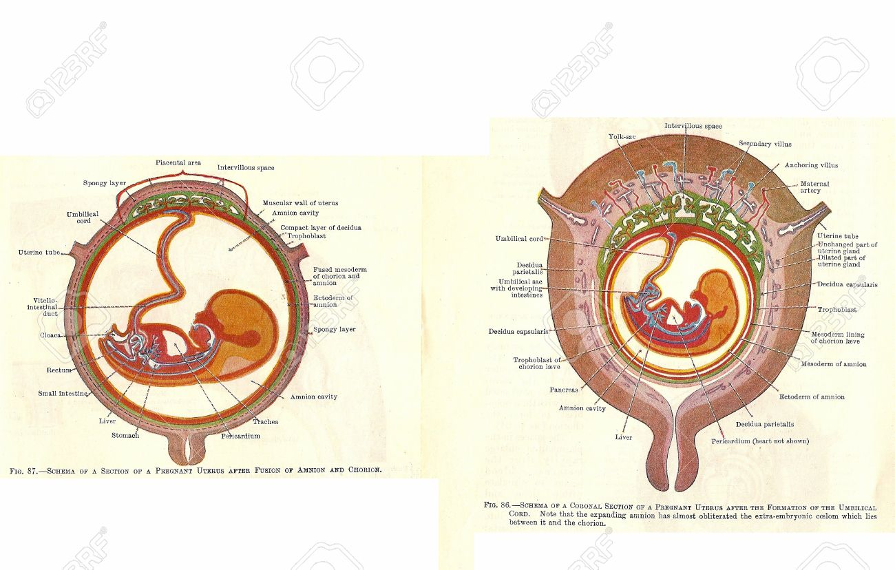 Stages In Human Fetal Development From An Early 20th Century.. Stock ...