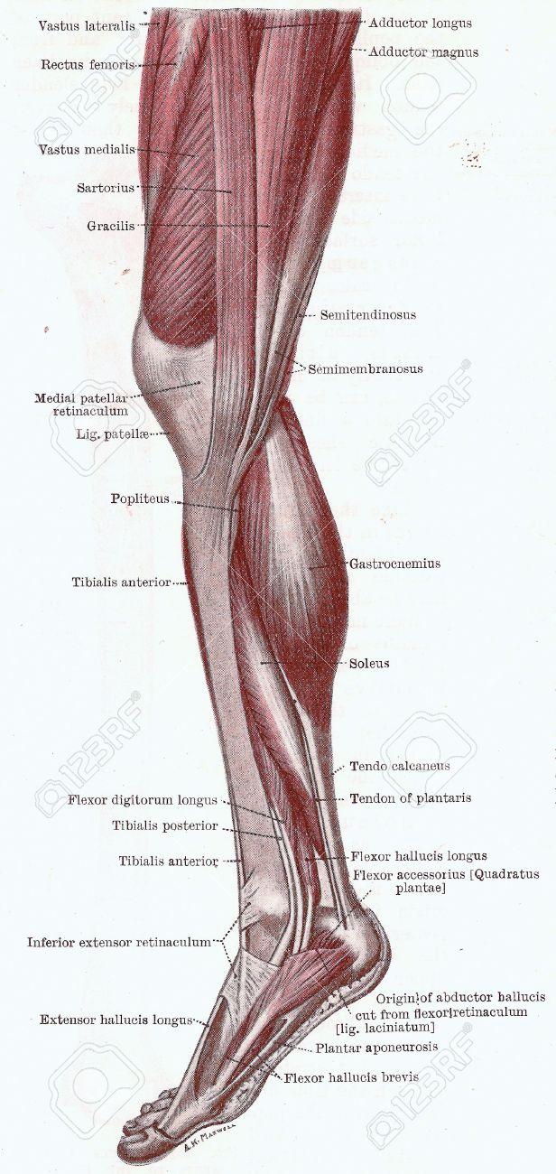Dissektion Des Beines, Die Muskeln Des Knies, Bein Und Fuß Von Der ...