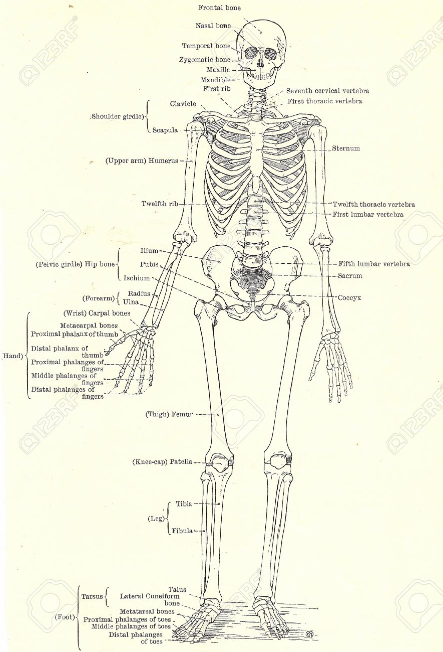Human Skeleton Full View From An Early 20th Century Anatomy