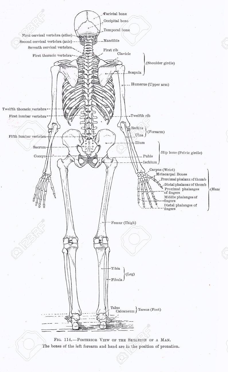 Rear Shoulder Anatomy Choice Image - human body anatomy