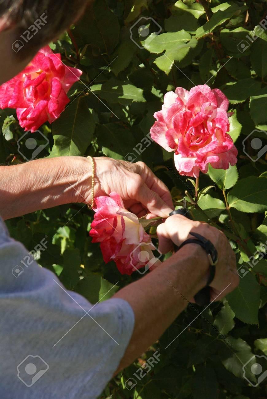 Gardener Caring For Her Roses, , Seattle Garden, Pacific Northwest Stock  Photo   11511607