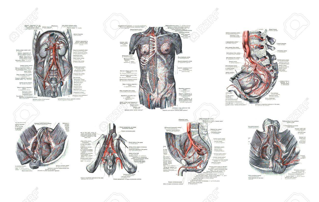 7 Views Of Male Human Sexual Organs From An Atlas Of Human.. Stock ...