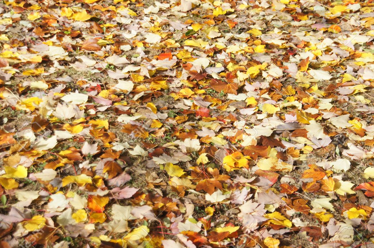 Detail, autumn leaves on the forest floor in the Seattle Arboretum Stock Photo - 16510605