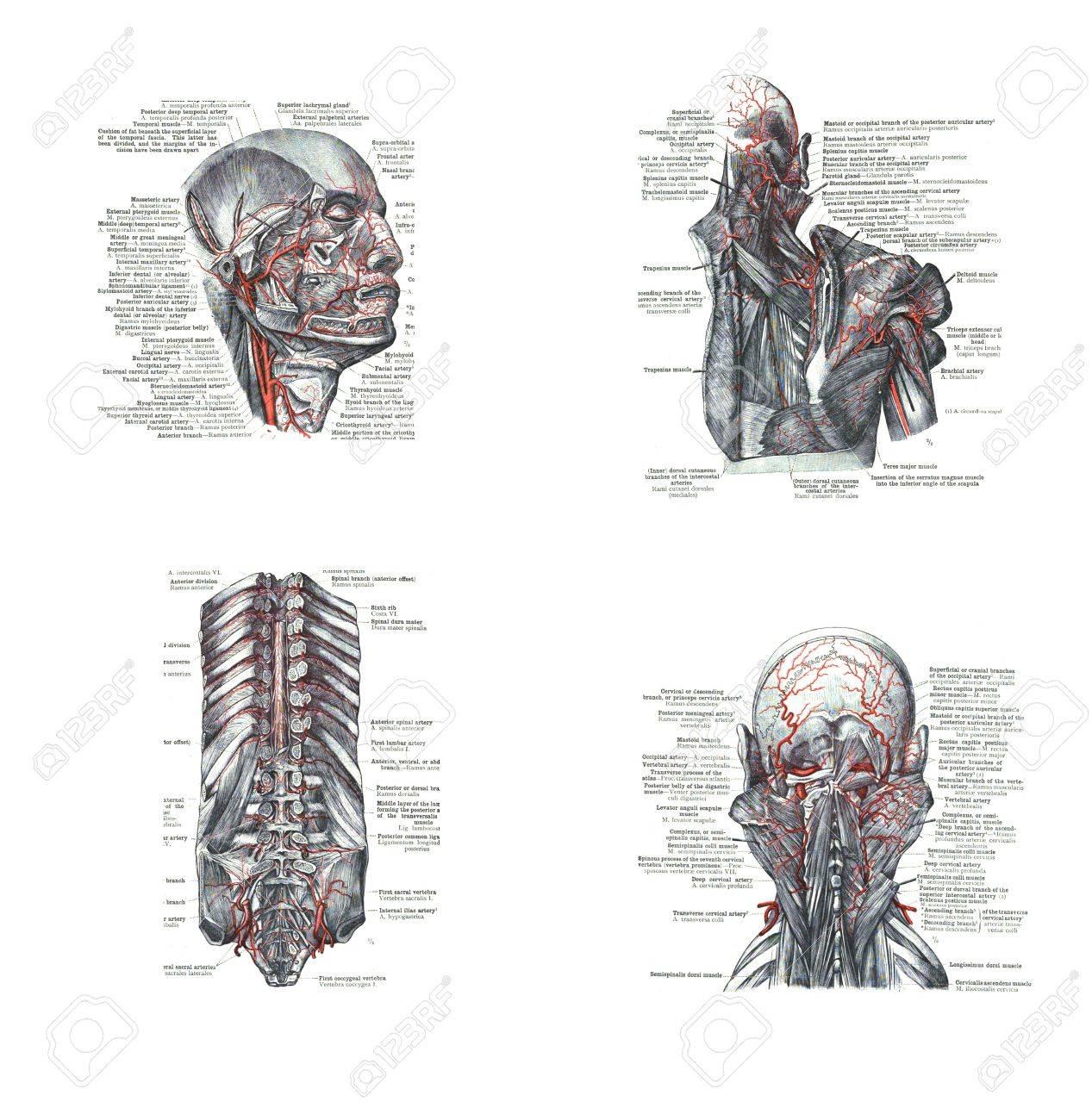 4 Ansichten Der Kopf, Rücken Und Wirbelsäule, Aus Einem Atlas Der ...