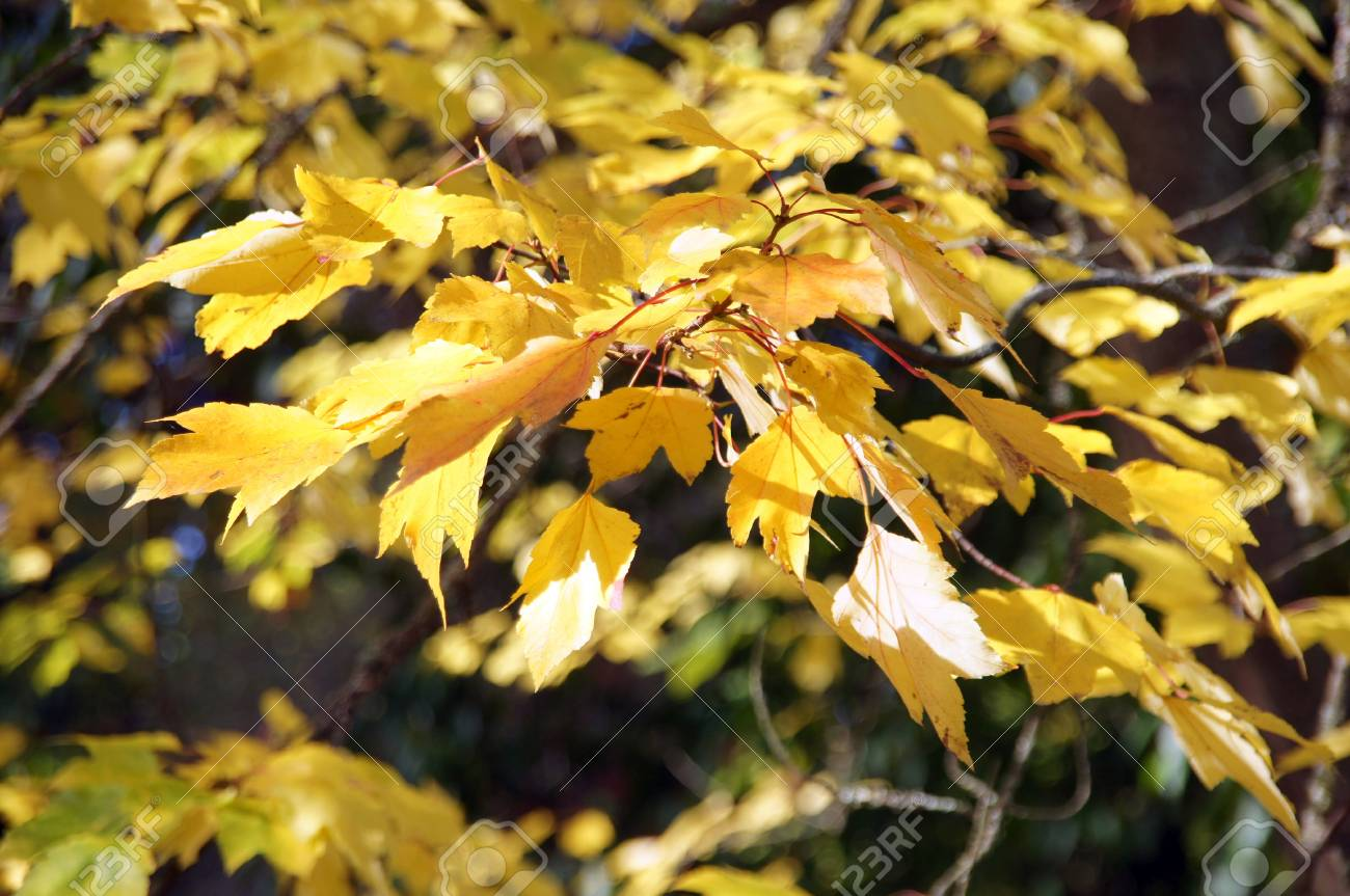 Bright yellow autumn leaves  in the Seattle Arboretum Stock Photo - 17157351