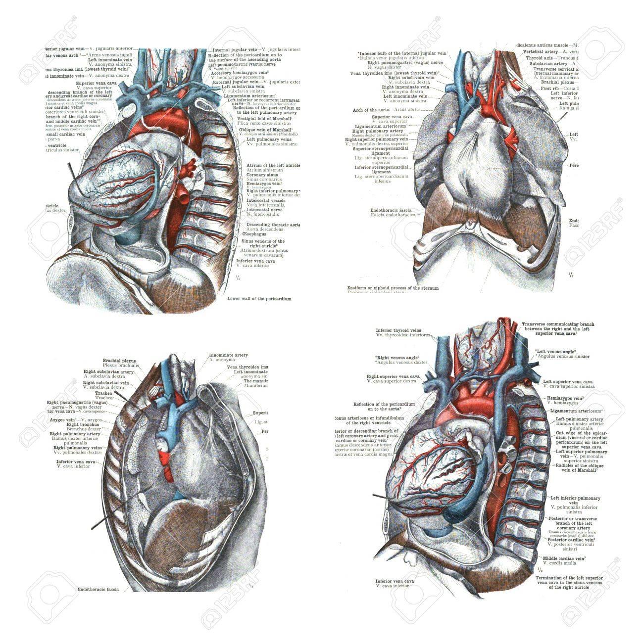4 Puntos De Vista De La Cavidad Cardiaca Y Torácica, De Un Atlas De ...
