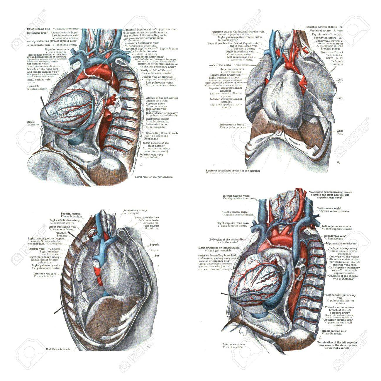 4 Views Of The Heart And Thoracic Cavity From An Atlas Of Stock