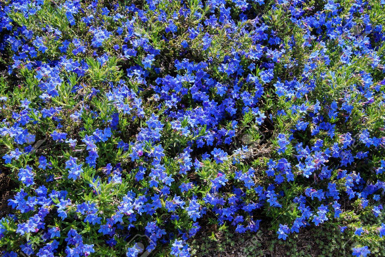 Banque d\u0027images , Vivaces fleurs bleu foncé (Lithospermum de diffusum) à  Seattle rocaille