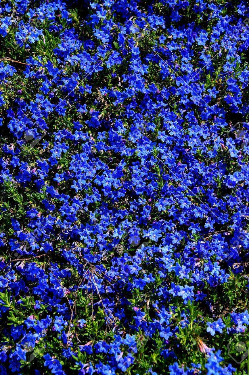 Blue blooming flowers awesome night blooming flower with blue finest perennial dark blue flowers diffusum in seattle rock garden stock photo with blue blooming flowers izmirmasajfo