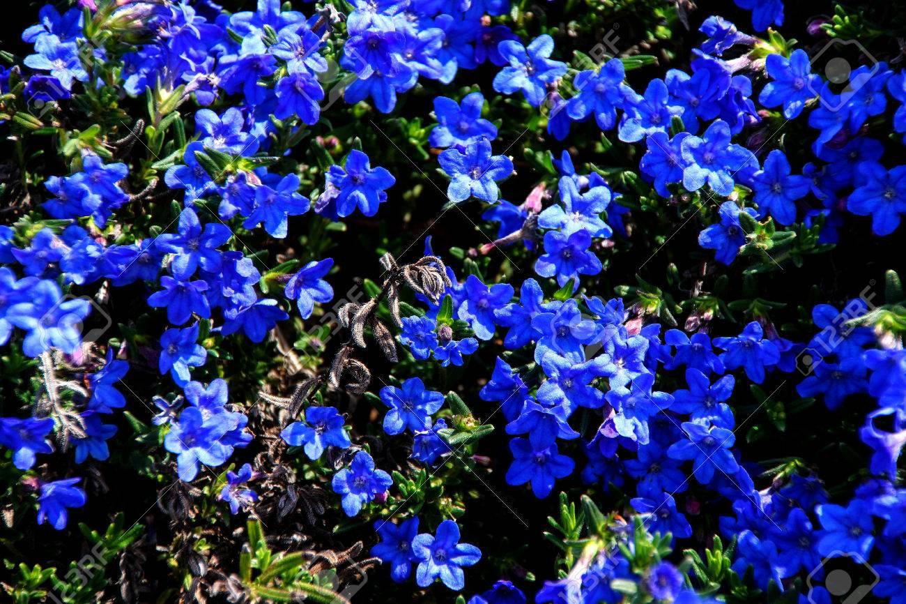 Perennial dark blue flowers lithospermum diffusum in seattle perennial dark blue flowers lithospermum diffusum in seattle rock garden stock photo 35153871 izmirmasajfo