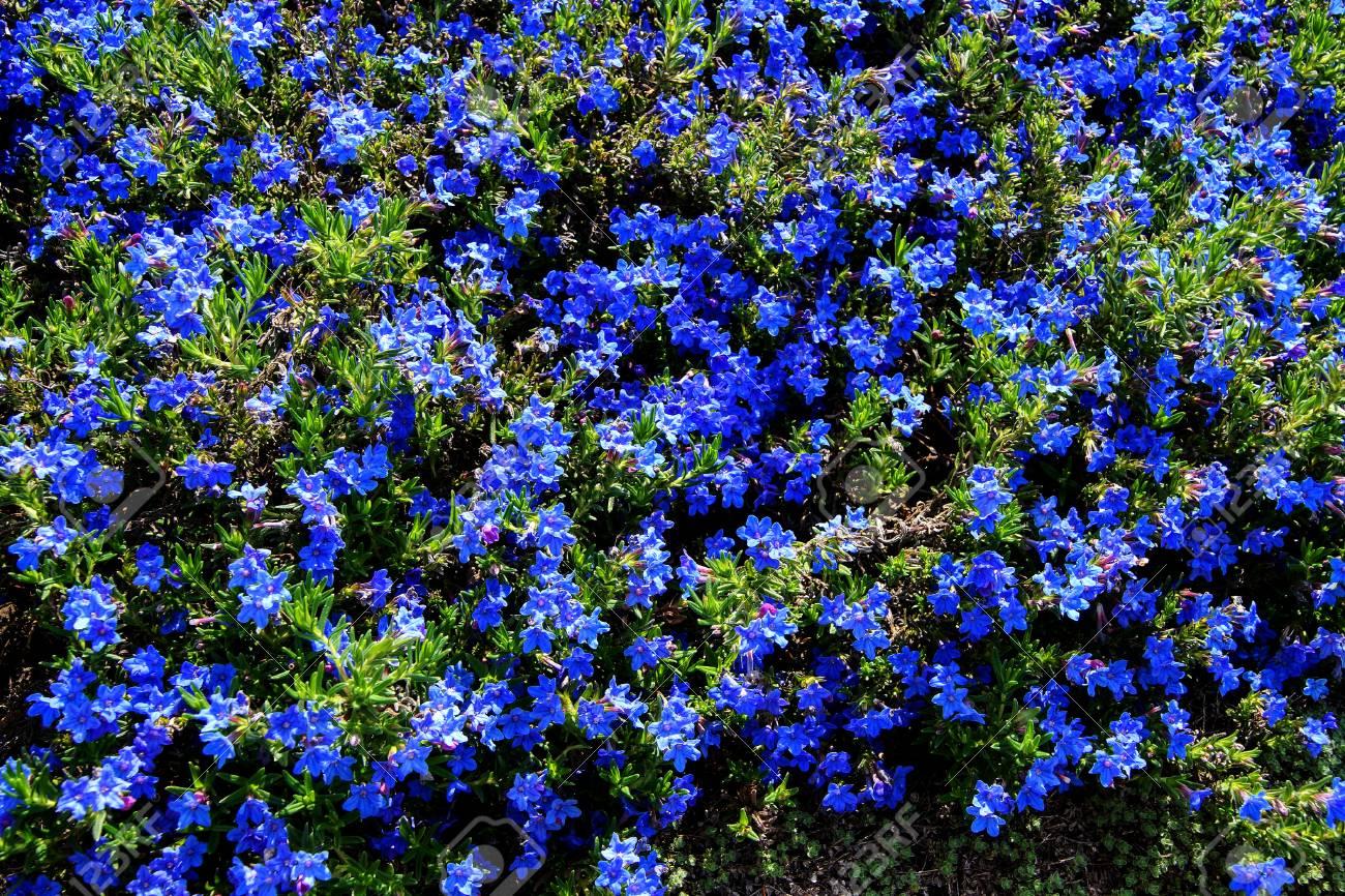 Vivaces Fleurs Bleu Fonce Lithospermum De Diffusum A Seattle