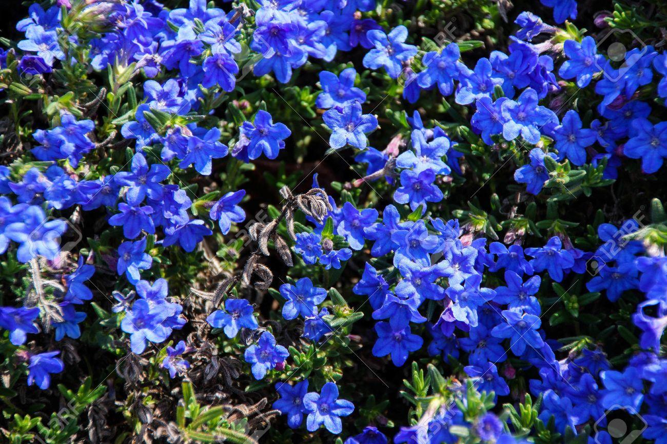 Perennial Dark Blue Flowers Lithospermum Diffusum In Seattle
