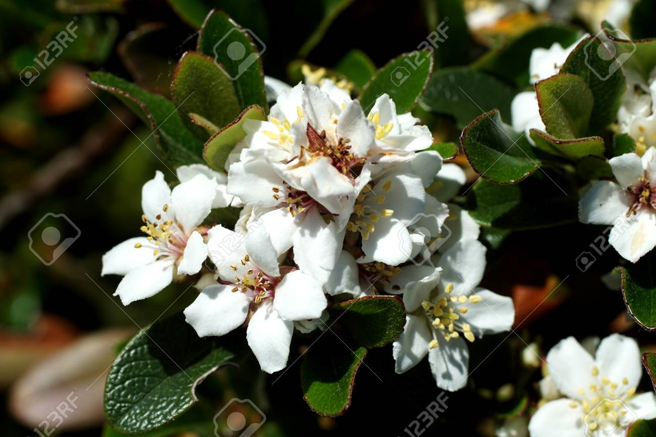 Clusters of small white flowers on bush in a spring garden seattle clusters of small white flowers on bush in a spring garden seattle stock photo mightylinksfo