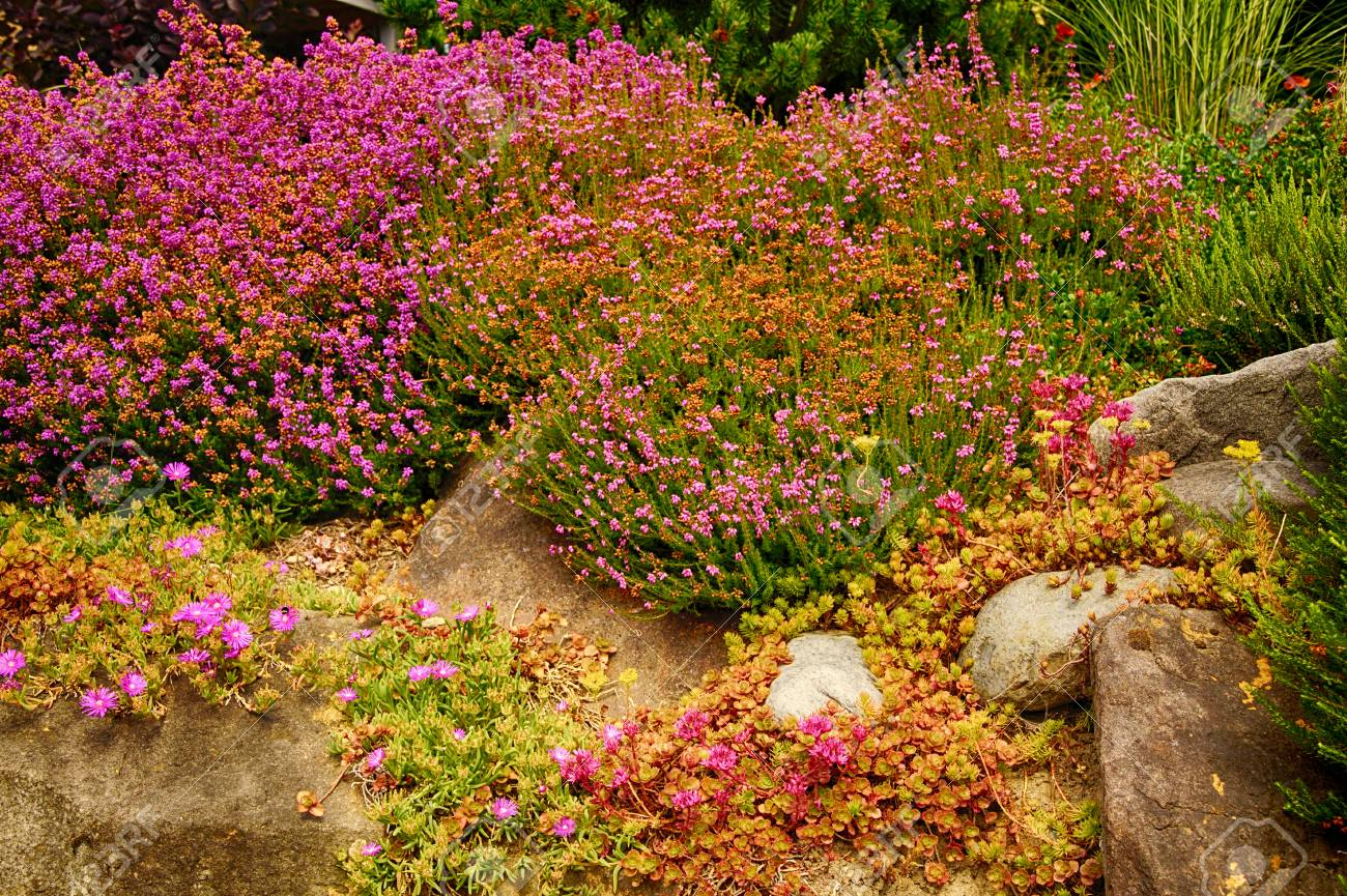 Purple Heathers In A Garden In Seattle Stock Photo, Picture And ...